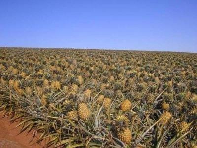 ananas-odessa