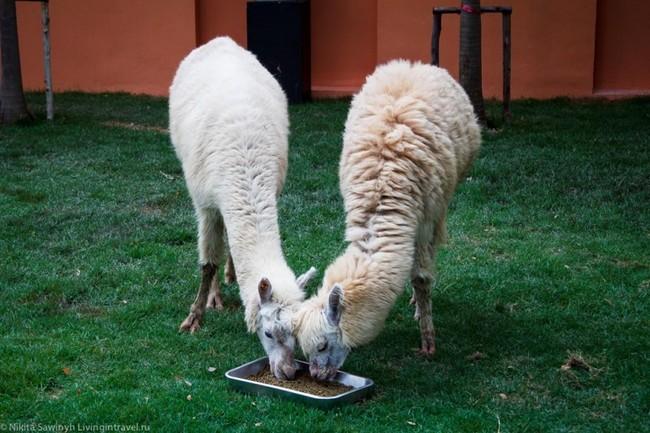 верблюжья ферма2